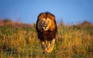 Lion Wallpaper Hd (24)