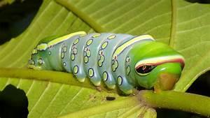 The Incredible Otherwordly Caterpillars Of Ecuador