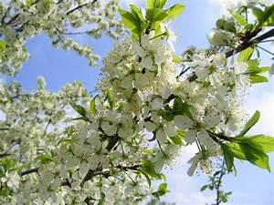Baum Mit Blüten : bl hender baum mit wei en bl ten auf stockfoto colourbox ~ Frokenaadalensverden.com Haus und Dekorationen