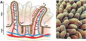 Intestinal Structure   A  Diagram Of Small Intestine