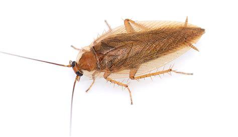 Kakerlaken Bekämpfen  Ungeziefer Im Haus