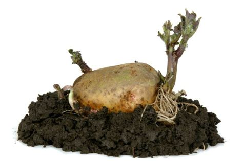 wann kartoffeln pflanzen wann ist die beste zeit kartoffeln zu pflanzen garten