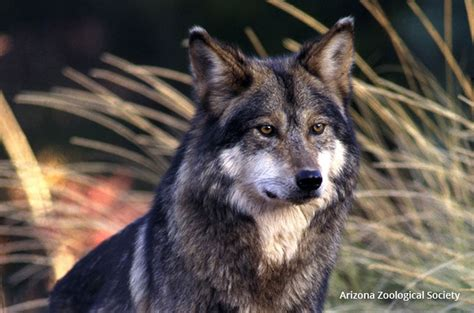 states efforts  derail lobo recovery  wildlife news