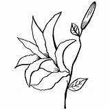 Lily Calla Drawing Coloring Water Line Pages Outline Stargazer Flower Lilly Rice Flowers Getdrawings Clipartmag Drawings Pdf Picolour Paintingvalley sketch template