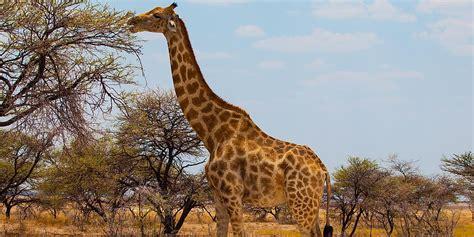 facts  giraffes worldatlascom