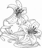 Flower Lily Coloring Flowers Drawings Drawing Pages Adults Orchid sketch template