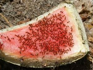 Anti Fourmi Naturel : solutions maison pour anti fourmis naturel ~ Carolinahurricanesstore.com Idées de Décoration