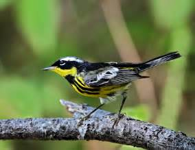 Black and White Bird with Yellow Wings