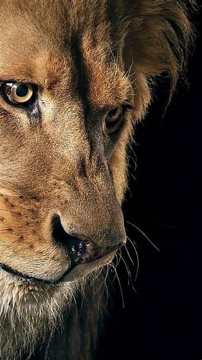 Lion Animal Animals Wild Lions Mobile Iphone