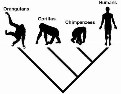 Evolution Tree Kladogram Icon Common Cladogram Ancestry