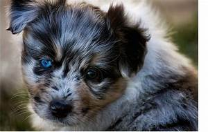 young Australian Shepherd puppy with the most beautiful ...
