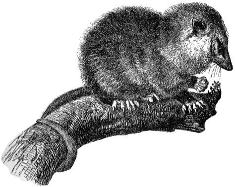 opossum clipart opossum clipart etc