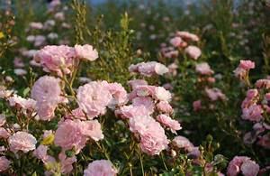 Rosen Düngen Im Frühjahr : duftende und bl hende rosen f r ihren garten egesa garten wir garten ~ Orissabook.com Haus und Dekorationen