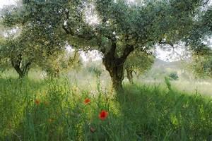 Bilder Bäume Gemalt : olivenb ume im abendlicht der provence foto bild pflanzen pilze flechten b ume ~ Orissabook.com Haus und Dekorationen