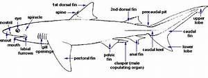 Shark Anatomy  U2013 Discover Fishes
