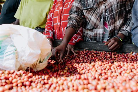 Compared in some respect to kenya coffee, rwanda coffee is often quite delicate tasting with a pleasant sweet, caramelly aroma and hints of citrus (lemon Documentry Photos of Coffee Plantations in Rwanda   500px Blog
