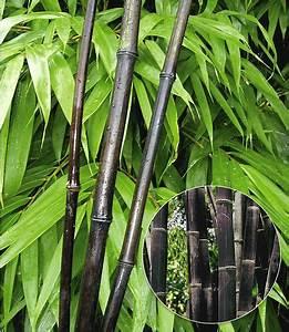 Schöner Garten Shop : wussten sie dass es auch schwarzen bambus gibt schwarzer bambus black bamboo 1 pflanze im ~ Eleganceandgraceweddings.com Haus und Dekorationen