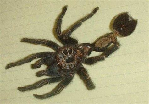 do tarantulas shed their tarantula webquest