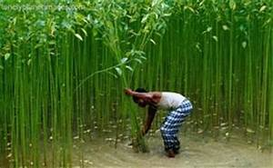 India : India's area under jute declines; output to fall ...