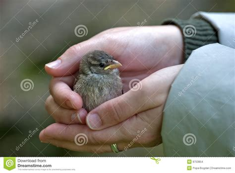 baby sparrow stock photo image  protection feathers