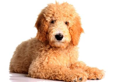 dogs that dont shed labradoodle top 30 dogs that don t shed small medium and large