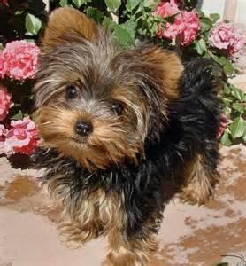 Yorkie Puppies Yorkshire Terrier
