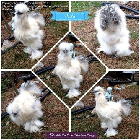 silkie chicken colors rural gardening silkie color 2 by chikymommadukes