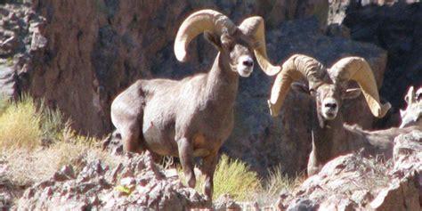 disease outbreak  desert bighorn sheep mojave national
