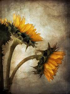 Vintage Sunflowers Photograph by John Rivera