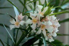 Oleander Hat Gelbe Blätter : oleander hat trockene bl tter so reagieren sie ~ Lizthompson.info Haus und Dekorationen