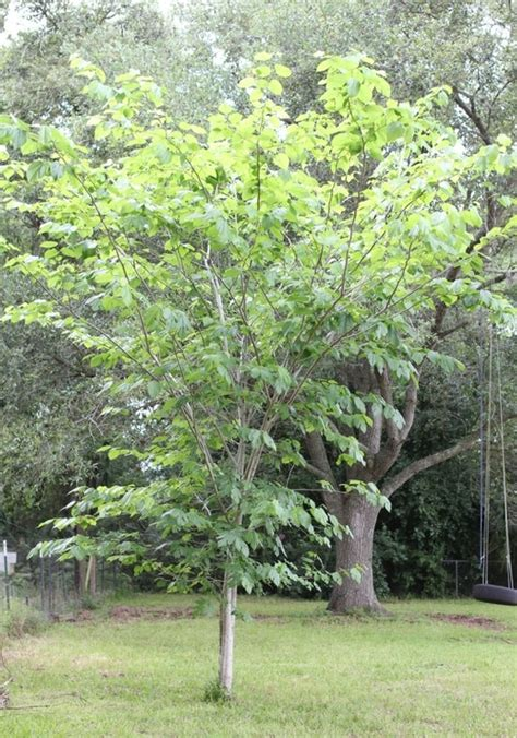mulberry tree planting growing mulberry trees and how to use the berries and