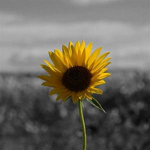 Sunflower - Black and White background | Sunflower on a ...