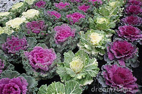ornamental cabbage plants for sale ornamental cabbage plants stock image image 11121721