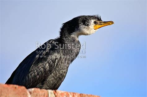 Little Shag Bird (phalacrocorax Melanoleucos) Native