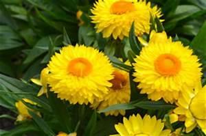Schmucklilie überwintern Gelbe Blätter : strohblumen helichrysum pflege anleitung trocknen ~ Eleganceandgraceweddings.com Haus und Dekorationen