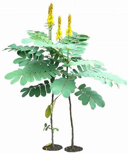Transparent Plants Plant Tropical Background Cassia Alata