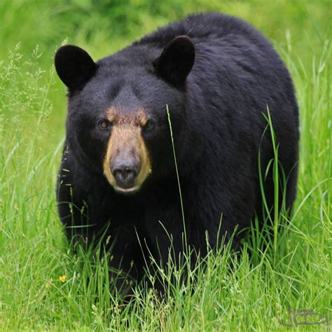 bears   wv black bears jim blackwood photographer