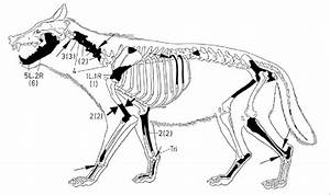 Body Part Representation Of Wolves  Canis Lupus  And Modifications On