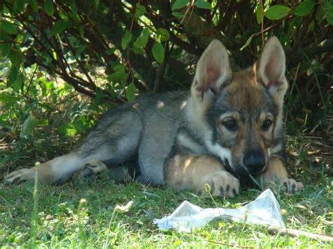 chiot chien loup tch 233 coslovaque lof uncompagnon fr