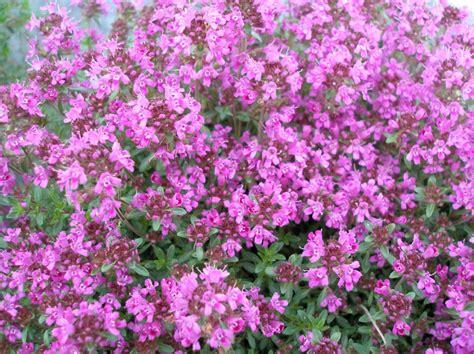 flower ground cover ground covers johnston s evergreen nursery