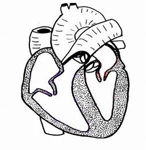 Black And White Heart Diagram Unlabeled