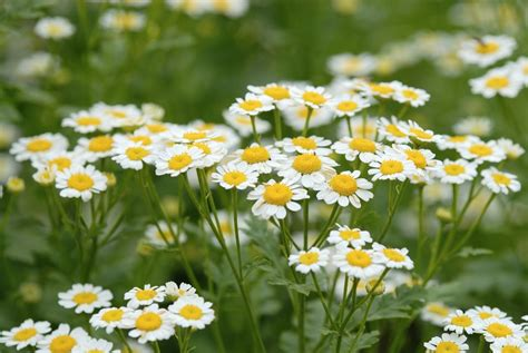 Small Spaces Kitchen Ideas - how to grow chamomile plants