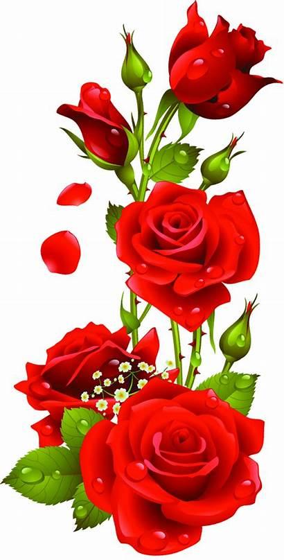 Flowers Rose Flower Pretty