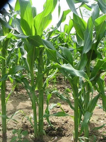 C4 Plants C3 Plant Cam Zea Corn