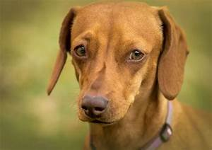 liver inflammation dogs signs symptoms