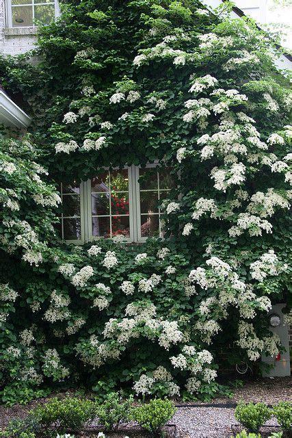 Climbing Hydrangea  Gardens  Pinterest Gardens