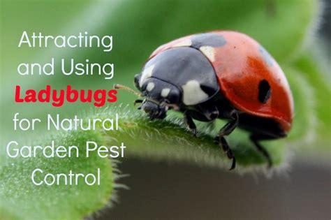 ladybugs  garden pest control  healthy home