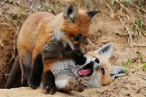cute, fox, foxes, nature - image #525921 on Favim.com