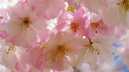 Blossom Cherry Japanese 4k Desktop Wallpapers Chromebook