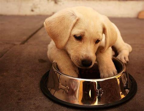 labrador retrievers  dog food   feed